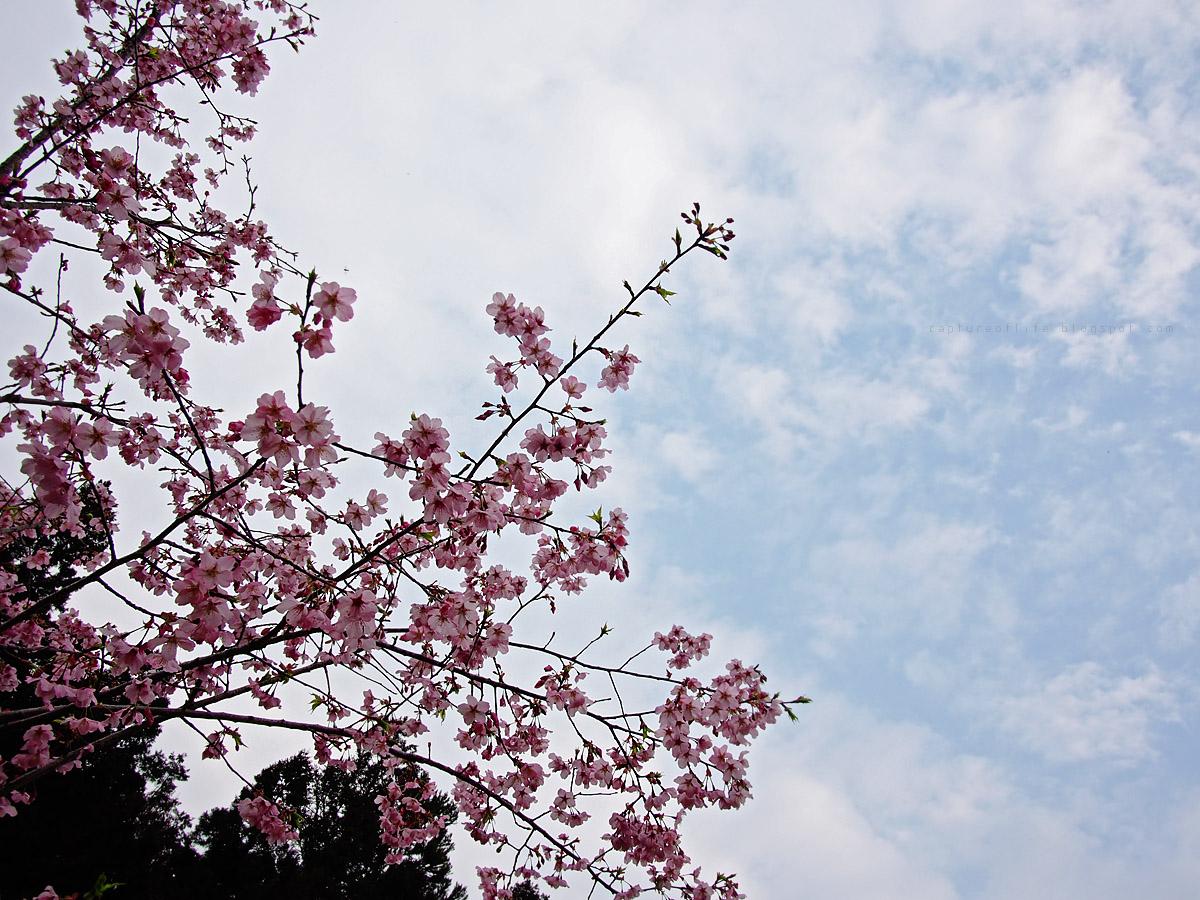 阿里山的櫻花