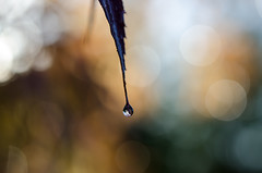 Autumn Drop...
