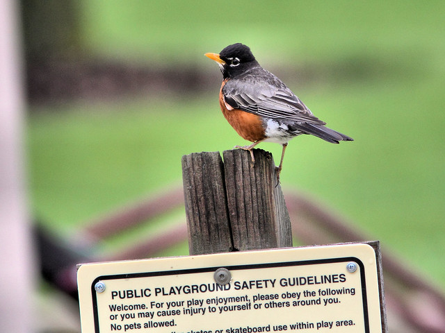 American Robin at playground HDR 20160501