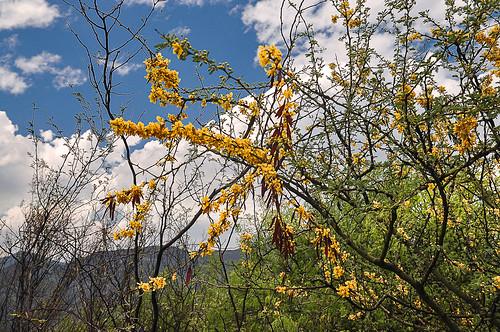 Florecimiento de mezquites (09)