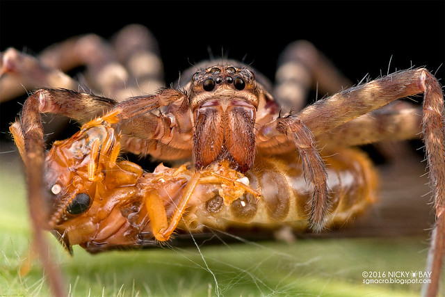 Huntsman spider (Sparassidae) - DSC_2095