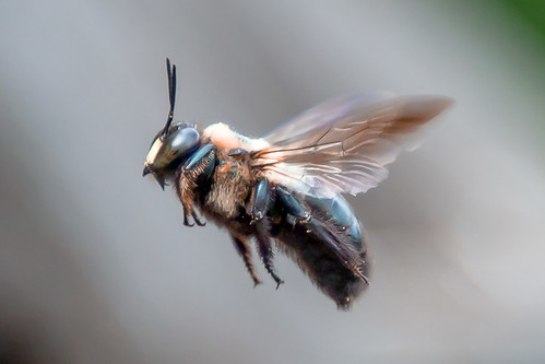 "CarpenterBee_Improved-1 | by Mark ""MacA"" Anderson"