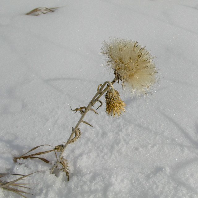 This nasty thistle bloom looks somewhat pretty in the snow