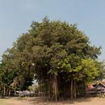Árbol con lianas