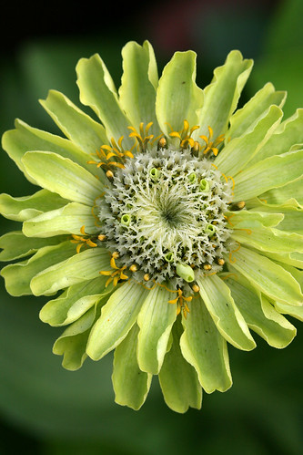Zinnia giant lime