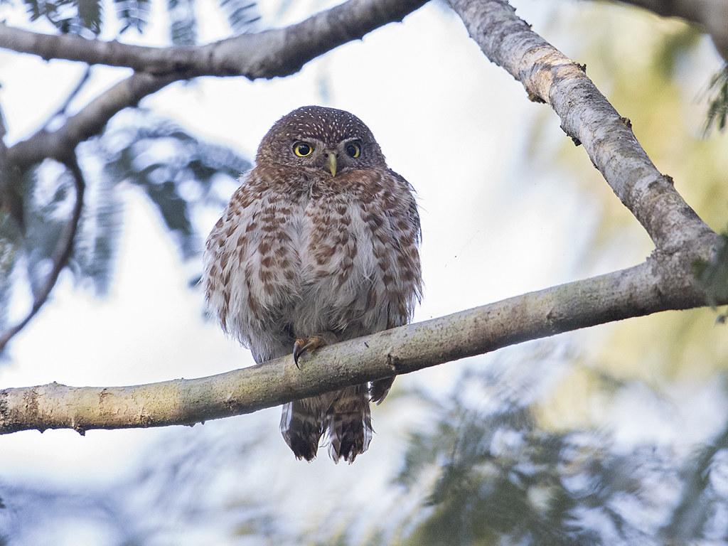 Cuban Pygmy-Owl  endemic to Cuba
