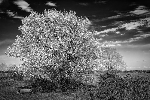 blackandwhite bw white tree monochrome field clouds rural fence countryside us blackwhite texas unitedstates country blossoms barbedwire waller bradfordpear hff happyfencefriday