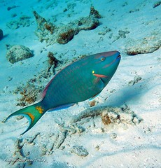 The beautiful Parrot Fish