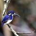 Small photo of Little Kingfisher (Alcedo pusilla)