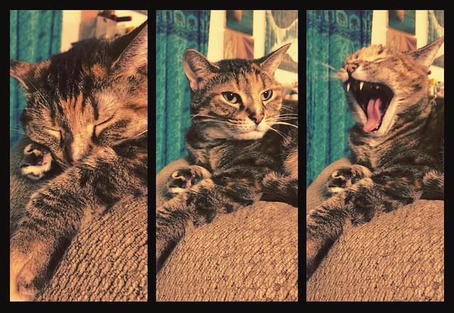 Henry #cats #torbies #torbiecats
