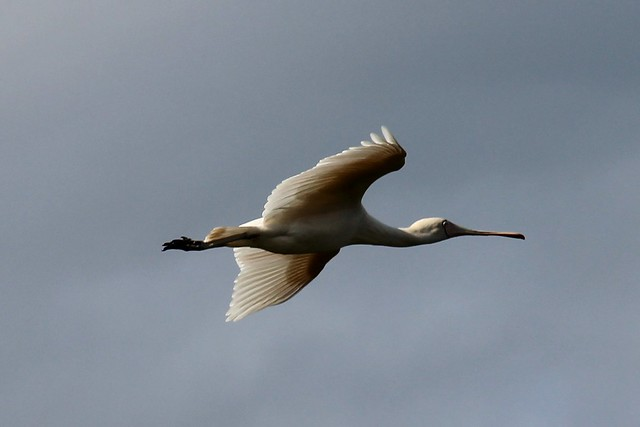 Yellow spoonbill flying