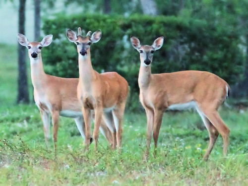 White-tailed Deer 3-20160412