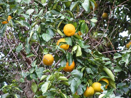 Uxmal: des oranges