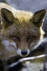 Fox looking at me...
