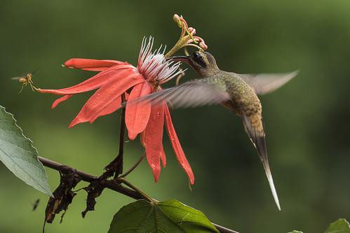 birds costarica centralamerica northernlowlands 85hummingbirds 13westernlongtailedhermit