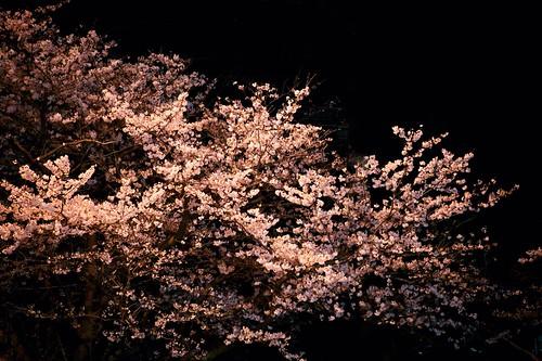 神戸製鋼所の桜 01