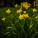 Small photo of A Good Year For The Daffs