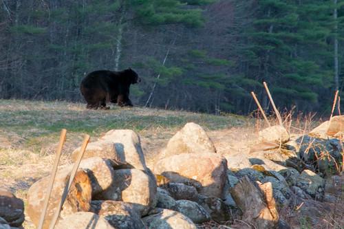 bear black woods nh boscawen