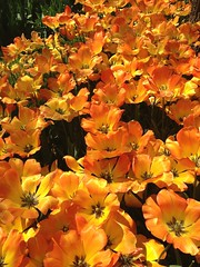 Turkey (Istanbul) Orange-coloured Tulips in Emirgan Garden
