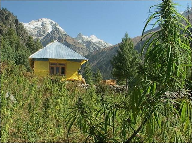 Cannabis/Opium farming near Kullu