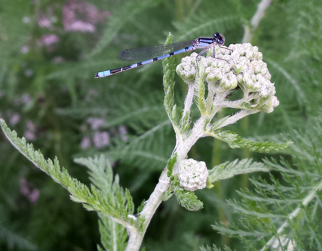 blue damselfly perched on yarrow buds with its head pointing to the right