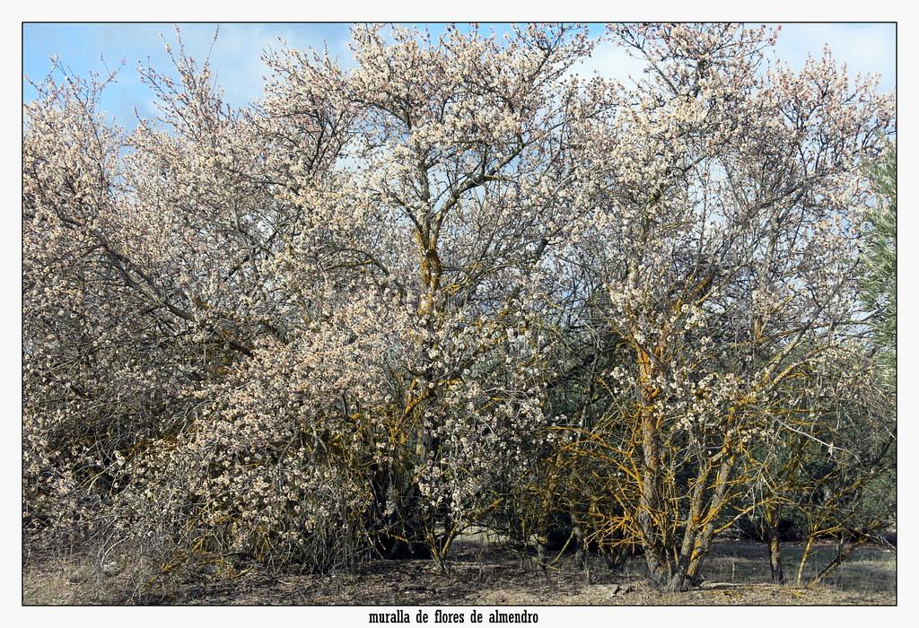 muralla de flores de almendro