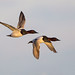 Canvasback's - Drakes by Mike Veltri