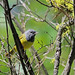 MacGillivray's Warbler, Wenas Campground, Yakima, Washington