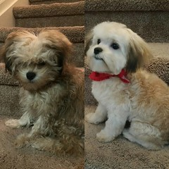 Loki before and after his first haircut