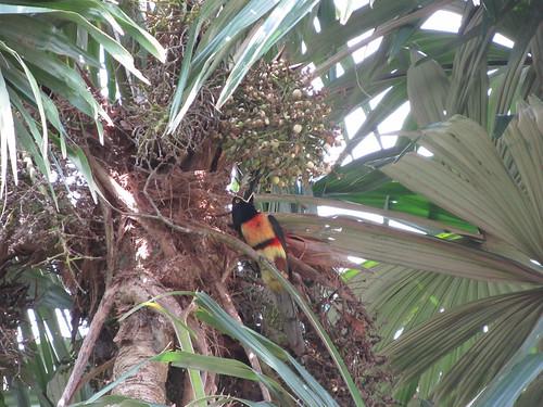 Tikal: un toucan juste devant notre chambre