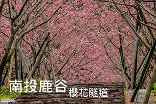 鹿谷台大茶園