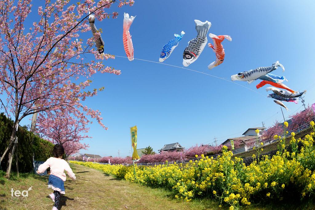 免々田川(めめだがわ)の桜と鯉のぼり