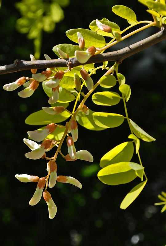 Robinia pseudoacacia 'Frisia' (2)