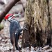 Grand Pic /Pileated Woodpecker by Joanne Levesque