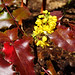 Oregon Grape - Mahonia aquifolium by TheNewJane