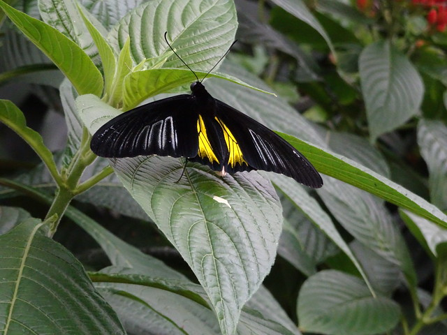 Golden Birdwing/Small Troides