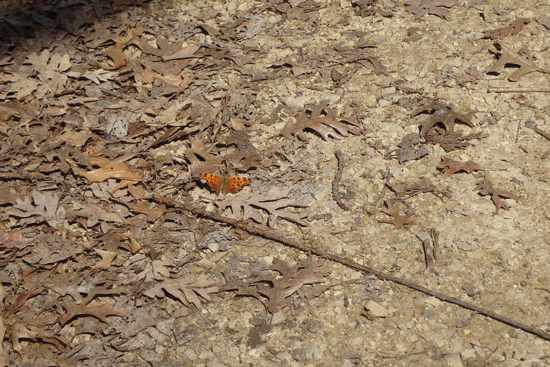orange-and-brown comma butterfly on brown leaves at the edge of a dirt-and-rock path