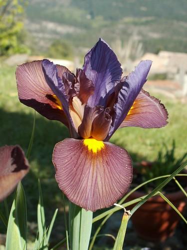 Iris x hollandica 'Eye of the Tiger'