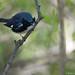 Black-throated Blue Warbler (M)
