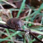 zöld bogyómászó-poloska - Palomena prasina