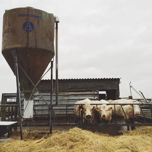 Cow Scene. #vsco #cows