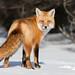 Red Fox by Gord Sawyer