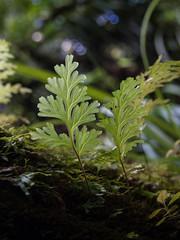 Hymenophyllum dilatatum