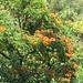 starr-090618-1145-Spathodea_campanulata-flowering_habit-Keanae_Hana_Hwy-Maui