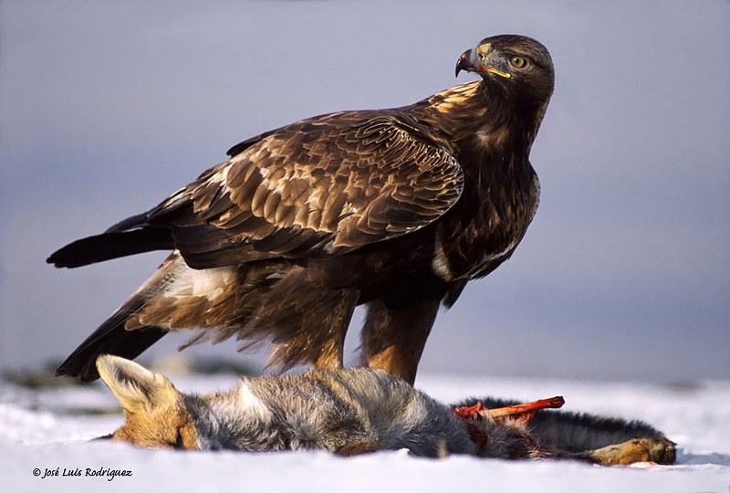 Golden Eagle (Aquila chrysaetos) - José Luis Rodríguez Sánchez