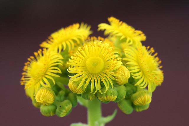 Greenovia flower