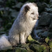 Arctic Fox by matthias.foto