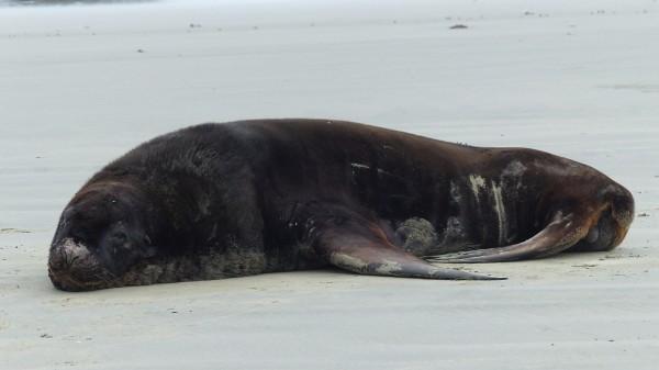 Lion de mer sur la plage de Monkey Bay
