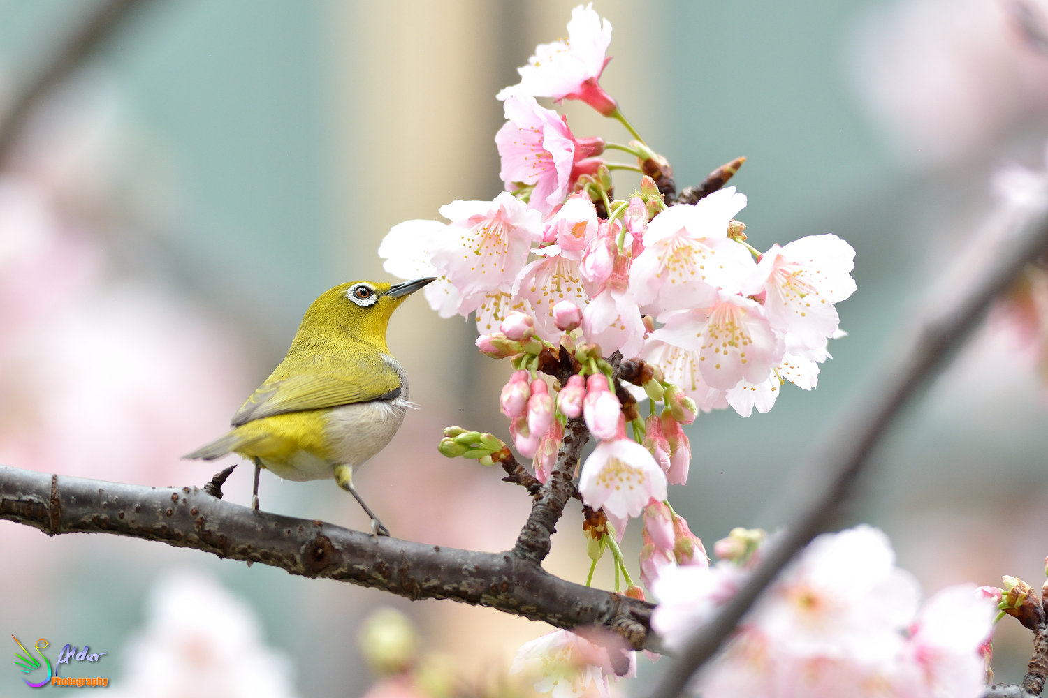 Sakura_White-eye_6528