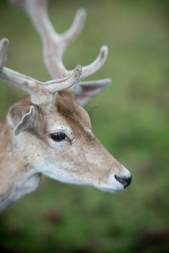 Deer-Portrait | by Time-4-Photos